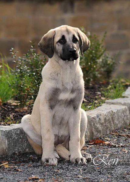 2190 anatolsky pastevecky pes stene vsede podzim-1.jpg